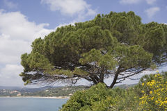 Stone pine on the coast of the mediterranean sea Royalty Free Stock Photo