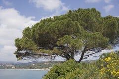 Stone pine on the coast of the mediterranean sea Royalty Free Stock Photo