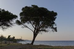 Stone pine in the evening light on the Moriani beach, Corsica, France Royalty Free Stock Images