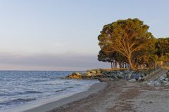 Stone pine in the evening light on the Moriani beach, Moriani Plage, Corsica, France Stock Photo