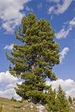 Stone pine on the Falzarego pass stock photo