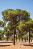 Stone pine. Of the pine forest of Antequera, Valladolid. Spain Royalty Free Stock Images