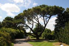 Stone pine in Kew Garden Stock Image