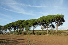 Stone pine. Or parasol pine in Minervois, Aude, Pinus pinea Stock Photography