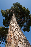 Stone Pine (Pinus pinea) Stock Photos