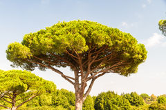 Stone pine or Pinus pinea Stock Photos