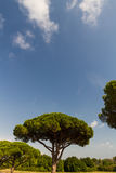 Stone pine or Pinus pinea, copy space at top. Stock Photography