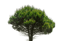 Stone pine, Pinus Pinea Royalty Free Stock Images