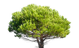 Stone pine, Pinus Pinea, isolated on white background Stock Image
