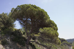 Stone pine on the rocks Stock Image
