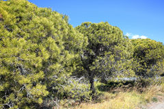 Stone Pine Trees Royalty Free Stock Images