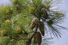 Stone Pine With Cones Stock Images