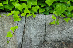Stone with plant. Stone-wall with climbing plant - green leaves stock photography