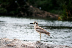 Stone plover Stock Image