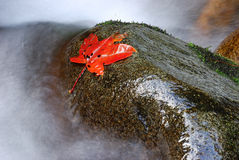 In stone red maple leaf. A red maple leaf falls in the water's edge stone.The photography place is the Chinese Sichuan Nanjiang County's Mt. Guangwu Royalty Free Stock Photos