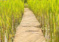 Stone road walkway through in the reeds Royalty Free Stock Photography