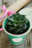 Stone rose cactus in flower pot on wooden table Stock Images