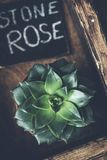 Stone rose succulent plant on wooden background. Top view, toned image Stock Photo