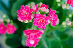 The Stone Roses. The Pink Stone Roses  ,flowers in gardens ,beautiful trees Royalty Free Stock Images