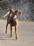 Stone´s Sheep, Thinhorn Sheep, Wildlife Stock Photo