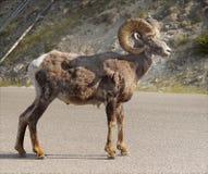 Stone´s Sheep, Thinhorn Sheep, Wildlife Royalty Free Stock Photos