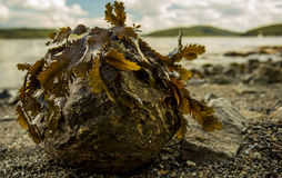 Stone with seaweed. In norwegian archipelago Stock Images