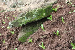 Stone and seedlings Royalty Free Stock Image