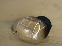 Stone seems carapace of a turtle. Stone on the beach seems carapace of a turtle Stock Photography