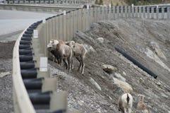 Stone Sheep Alaska Highway Canada Royalty Free Stock Photography