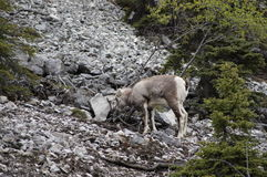 Stone Sheep Alaska Highway Canada Stock Image