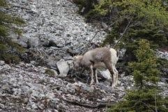 Stone Sheep Alaska Highway Canada Stock Image
