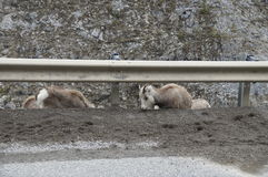 Stone Sheep Alaska Highway Canada Royalty Free Stock Images