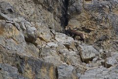 Stone Sheep Alaska Highway Canada Stock Photography