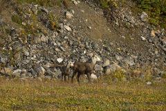 Stone Sheep ewe with lamb in meadow at base of mountain, northern British Columbia Stock Images