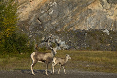 Stone Sheep ewe with lamb, at roadside, northern British Columbia. Canada stock photo