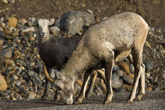 Stone Sheep ewe with lamb, searching for salt and minerals at the roadside, northern British Columbia. Canada royalty free stock photos