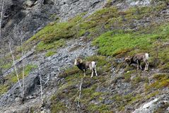 Stone sheep on mountain Royalty Free Stock Images