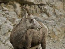 Stone sheep (Ovis dalli stonei) royalty free stock photo