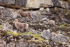 Stone Sheep Ovis dalli stonei family Royalty Free Stock Image
