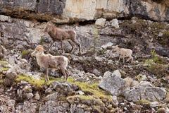Stone Sheep Ovis dalli stonei family Royalty Free Stock Image