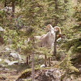 Stone Sheep ram Ovis dalli stonei mountain forest Stock Image