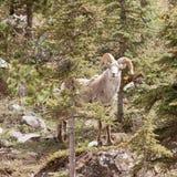 Stone Sheep ram Ovis dalli stonei mountain forest Stock Image