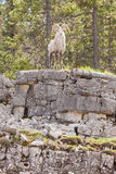 Stone Sheep ram Ovis dalli stonei watching Royalty Free Stock Photo