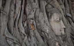 Stone statue of Buddha in tree roots royalty free stock images