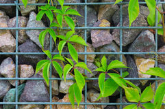 Stone and steel grille wall with green plant climbing Royalty Free Stock Image