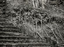 Stone steps reclaimed by the jungle in Dzibanche Mayan ruins in Mexico royalty free stock image