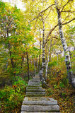 The stone steps and silver birch of Zu mountain Stock Image