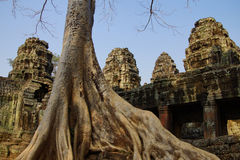 Stone terrace engulfed by huge tree. Roots, Ta Prohm,  Cambodia Stock Images