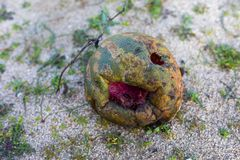 rotten watermelon on the sand royalty free stock images