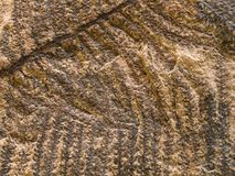 Stone texture with petrified prehistorical ferns frond Royalty Free Stock Image